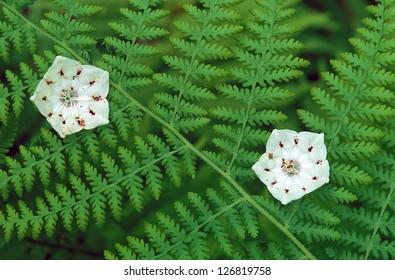Pair of Mountain Laurel flowers through ferns