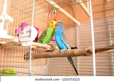 A pair of multi-colored wavy parrots in a cage