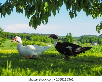 Pair of Muscovy ducks, walking under a tree on fresh green grass at summer