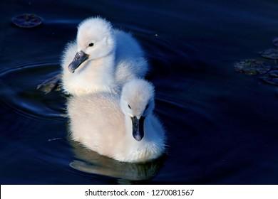 Pair Of Mute Swan Cygnets (Chicks)