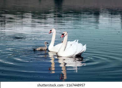 Pair of mute swans (Cygnus olor) with downy Chicks (ugly ducklings) on lake