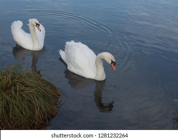 Pair of Mute Swans (Cygnus olor) in a Fresh Water Lake on a Winter's Day in Rural Devon Wetlands, England, UK