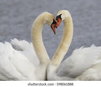 Pair of Mute Swans (Cygnus olor) - Kensington Metropark, Michigan