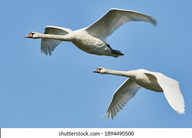 Pair of mute swans in flight. Cygnus olor flying on a blue sky
