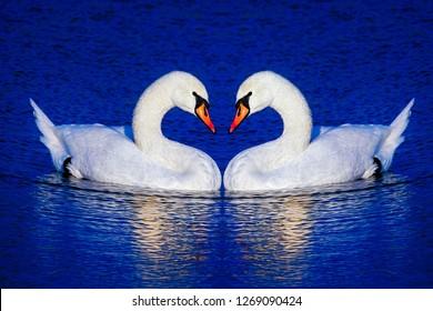 Pair of mute swans posed beak to beak to form heart shape