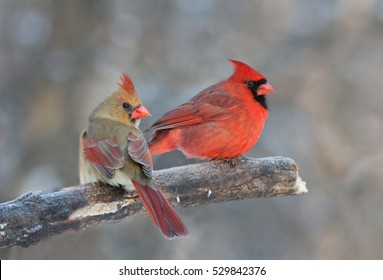 Pair of Northern Cardinal in Canadian winter
