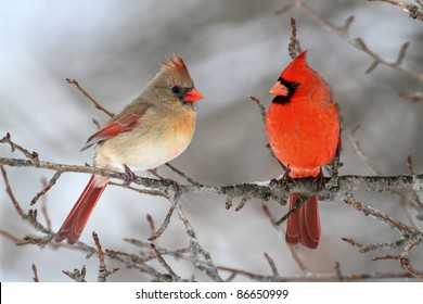 Image result for free images of cardinal birds