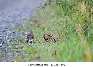 Pair of Northern Flicker birds ground feeding.  One Flicker is facing front while the other has its back turned, showing the heart-shaped red patch on the back of its head.