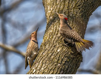 A pair of northern Flickers participate in a courtship dance in an early spring Wisconsin woodland.