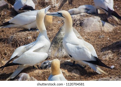 Pair of Northern gannets with offspring in Saltee Islands. Ireland.Gannets are seabirds comprising the genus Morus, in the family Sulidae, closely related to boobies