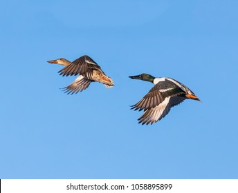A pair of northern shoveler ducks, male and female, are captured in flight against a deep blue sky.