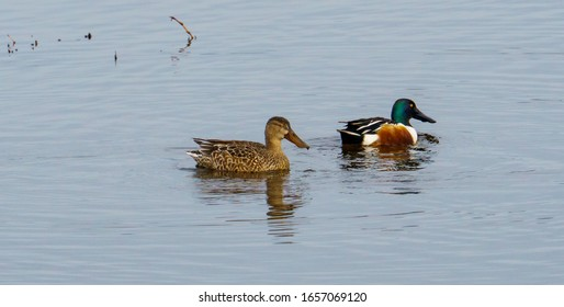 A pair of northern shovelers, is a common and widespread duck in the United States, known simply in Britain as the shoveler