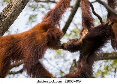 A pair of orangutans kissing