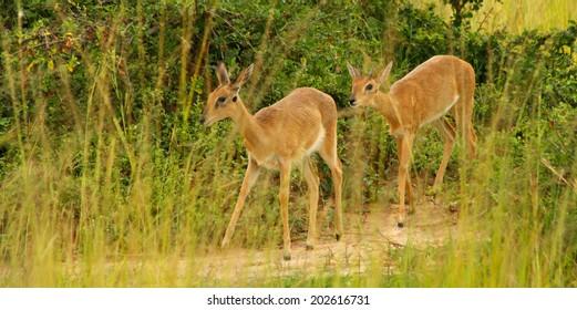 A pair of Oribi walk along a game trail among the grass of the Ugandan savanna