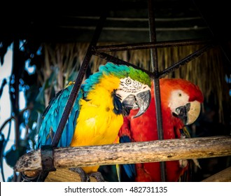 Pair os scarlet and blue-and-yellow macaws