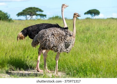 Pair of Ostriches, Tanzania, Africa