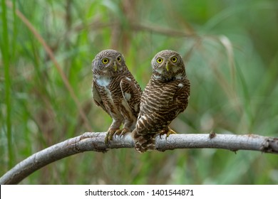 Pair of owl perching on a branch with green background