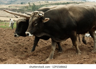 Pair Of Oxen On Fresh Plowed Land And A Farmer Manually Spreading Fertilizer In Urubamba Valley, Peru