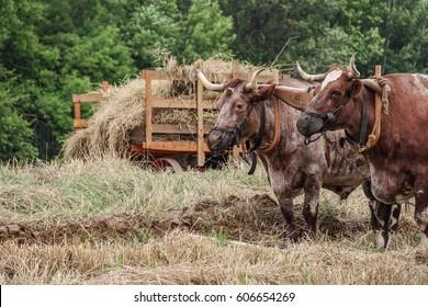 Oxen Pulling Plow Images, Stock Photos & Vectors | Shutterstock