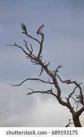 Pair of Pale chanting goshawk, Melierax canorus, bird of prey from Kalahari desert perched on isolated dead tree against dramatic sky.Colorful raptor with orange legs and beak, Kgalagadi,South Africa.