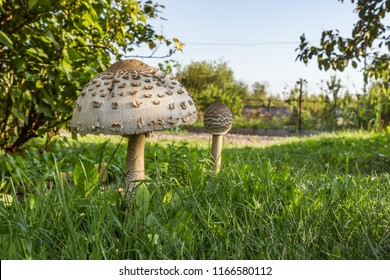 Pair of Parasol Mushrooms (Macrolepiota procera or Lepiota procera) on a grassy glade in garden. August