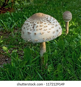 Pair of Parasol Mushrooms  (Macrolepiota procera or Lepiota procera) on green grass. August