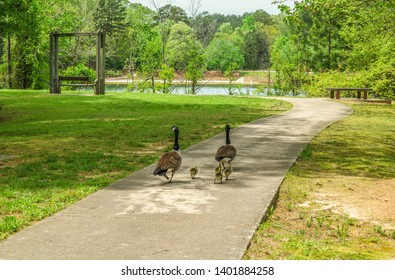 A pair of parent geese taking their baby chicks for a walk in the park to go down to the lake on a spring day