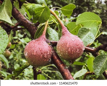pair of pears covered by raindrops on a tree