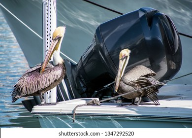 pair of pelicans perched on a power boat in marina dock