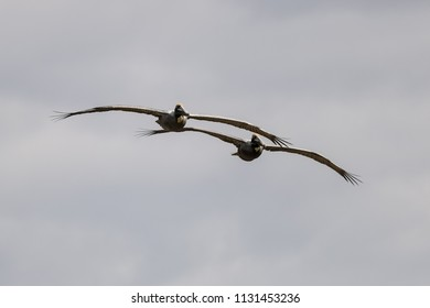 A pair of Pelicans soars down the coast on a windy day in Galveston, TX.