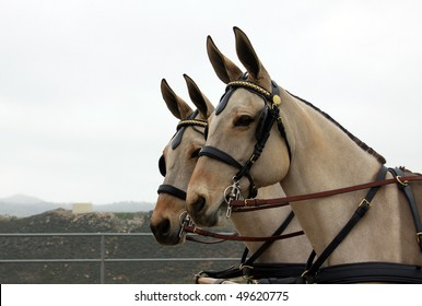 Pair of Perfect Mule Heads in Harness against White Sky