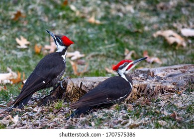 Pair of Pileated Woodpecker (Dryocopus pileatus) eating bugs from a stump in the springtime, horizontal