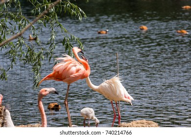Pair of pink Flamigoes with male above female at a pond summer 2017