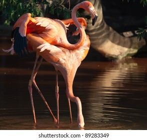 Pair of pink Flamigoes with male with partially extended wings at a pond