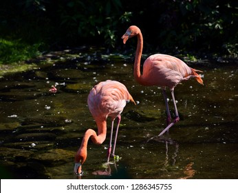 Pair of pink Flamingos feeding while wading and walking in a pond
