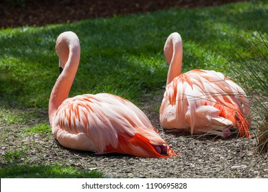 A pair of pink flamingos laying on the ground and resting next to each other in the afternoon sunlight.