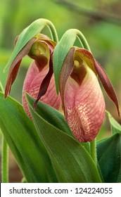 Pair of Pink Lady's Slippers, Cypripedium acaule, in full bloom