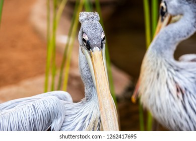 Pair of pink pelicans in a pond. Pelecanus rufescens.