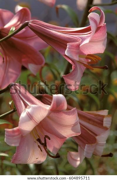 Pair of Pink trumpet flowers