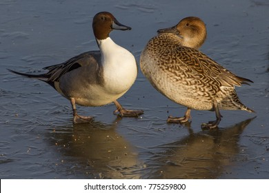 Pair of Pintail Ducks (Anas acuta) on Ice, United Kingdom