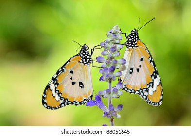 pair of plain tiger butterfly