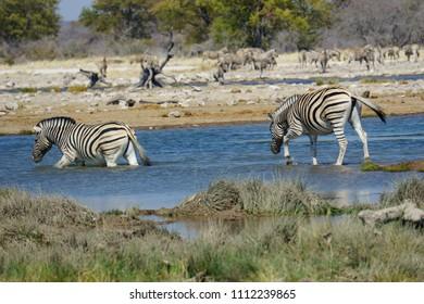Pair of plains zebra grazing beside a waterhole (pan) at Etosha National Park.