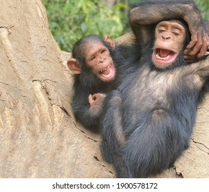 A pair of primates cheerful chimpanzees sitting on a large tree trunk are laughing very fervently