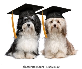 A pair of proud graduation havanese dogs with cap isolated on white background