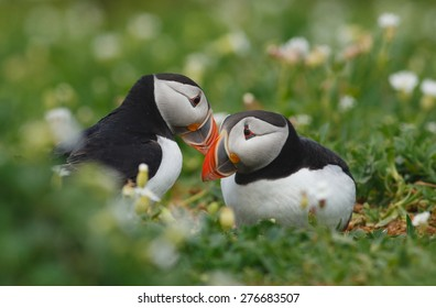 A pair of Puffins (Fratercula Artica) courtship bonding in flowers