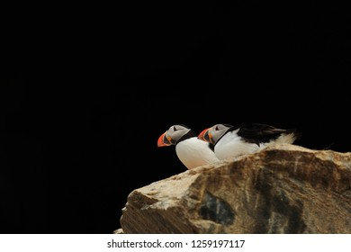 Pair of puffins on the rock