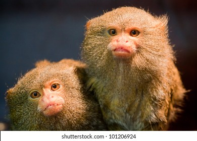 Pair of pygmy marmosets