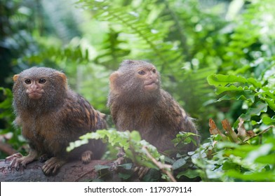 Pair of pygmy monkeys sitting in green grass. Shallow depth of field
