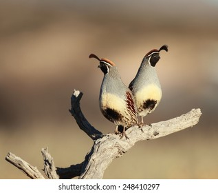 Pair of Quail with a blurred background