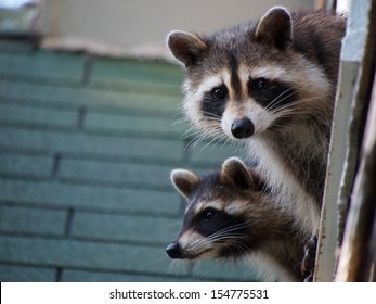 A Pair Of Raccoons